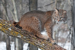 Bobcat (Lynx rufus) Sits on Branch. Captive animal Stock Images