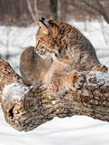 Bobcat (Lynx rufus) Sits on Branch in Profile. Captive animal Royalty Free Stock Photo