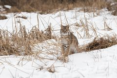 Bobcat Lynx rufus Sits in Grasses. Captive animal Royalty Free Stock Image