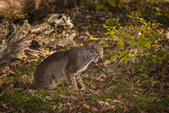 Bobcat Lynx rufus Sits on Ground Mouth Open. Captive animal Royalty Free Stock Photo