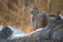 Bobcat Lynx rufus Sits on Log. Captive animal Royalty Free Stock Photo