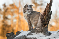 Bobcat Lynx rufus Sits Looking Right. Captive animal Royalty Free Stock Images