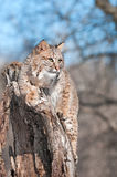 Bobcat (Lynx rufus) Sits on Stump with Copy Space. Captive animal Royalty Free Stock Photo