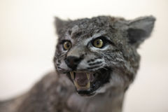 Bobcat (Lynx rufus) snarling. Taxidermy example of a great cat with white background blur Stock Photo