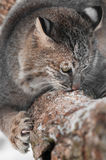 Bobcat (Lynx rufus) Sniffs and Claws at Branch Stock Photo