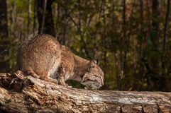 Bobcat (Lynx rufus) Sniffs at Log Stock Photography