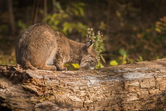 Bobcat Lynx rufus Sniffs at Log. Captive animal Stock Photos