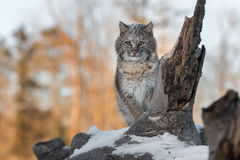 Bobcat Lynx rufus With Snow on Her Face. Captive animal Stock Photos