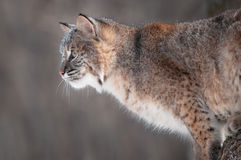 Bobcat (Lynx rufus) with Snow on His Face Stock Images