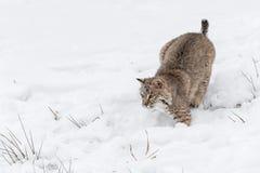 Bobcat Lynx rufus som är klar att pounce royaltyfria foton