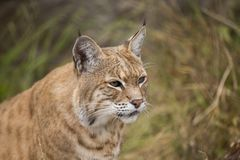 Bobcat (Lynx rufus). Spotted outdoors in wild Stock Photos