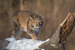 Bobcat Lynx rufus Stalks Across Snowy Log. Captive animal Stock Photo