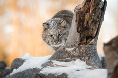 Bobcat Lynx rufus Stalks. Captive animal Stock Photos