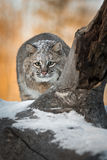 Bobcat Lynx rufus Stalks Forward. Captive animal Royalty Free Stock Photos