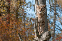 Bobcat (Lynx rufus) Stands Alert on Branch. Captive animal Stock Photo