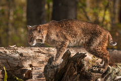 Bobcat Lynx rufus Stands Atop Log. Captive animal Stock Images