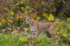 Bobcat Lynx rufus Stands in Autumn Grasses stock image