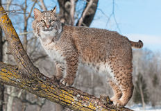 Bobcat (Lynx rufus) Stands on Branch. Captive animal Stock Images