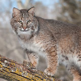 Bobcat (Lynx rufus) Stands on Branch Looking Right. Captive animal Stock Images