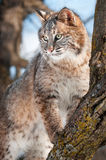 Bobcat (Lynx rufus) Stands on Branch in Tree Stock Photo