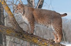 Bobcat (Lynx rufus) Stands on Branch of Tree Looking Left. Captive animal Royalty Free Stock Photography