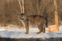 Bobcat & x28;Lynx rufus& x29; Stands Defiant Atop Log. Captive animal Stock Photography