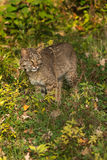Bobcat (Lynx rufus) Stands in Grass. Captive animal Royalty Free Stock Images