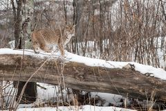 Bobcat Lynx rufus Stands on Log. Captive animal Royalty Free Stock Photo