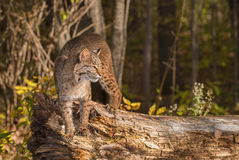 Bobcat (Lynx rufus) Stands on Log Royalty Free Stock Images