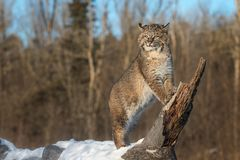 Bobcat Lynx rufus Stands on Log Ears Back. Captive animal Stock Photos