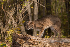Bobcat (Lynx rufus) Stands on Log Looking Left Stock Images