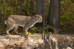 Bobcat (Lynx rufus) Stands on Log Looking Right