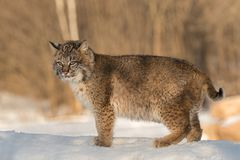 Bobcat Lynx rufus Stands Looking Out. Captive animal Stock Photo