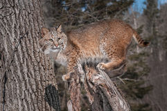 Bobcat (Lynx rufus) Stands on Stump. Captive animal Royalty Free Stock Photos