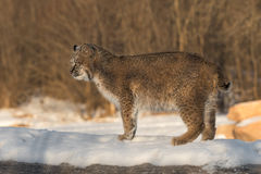 Bobcat Lynx rufus Stands to Left on Log. Captive animal Royalty Free Stock Photography