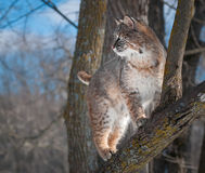 Bobcat (Lynx rufus) Stands in Tree. Captive animal Royalty Free Stock Photography