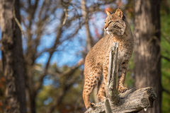 Bobcat Lynx rufus Stands Up Tall Atop Branch. Captive animal Royalty Free Stock Images