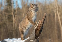 Bobcat Lynx rufus Stands Upright on Log. Captive animal Royalty Free Stock Images
