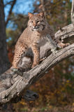 Bobcat (Lynx rufus) Stares Down from Branches Royalty Free Stock Photography