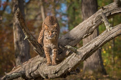 Bobcat Lynx rufus Stares Out From Log. Captive animal Stock Image