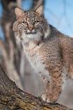 Bobcat (Lynx rufus) Stares from Tree. Captive animal stock photography