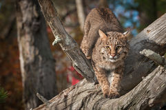 Bobcat Lynx rufus Stretches Out in Branches. Captive animal Royalty Free Stock Images