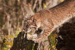Bobcat (Lynx rufus) Stretches Out Royalty Free Stock Image