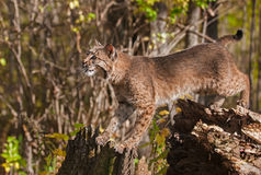 Bobcat (Lynx rufus) Stretches Between Stump and Tree. Captive animal Royalty Free Stock Image