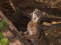 Bobcat Lynx rufus Stretches Upward. Captive animal Stock Photos
