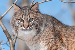 Bobcat (Lynx rufus) in Tree. Captive animal Stock Photography