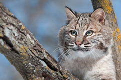 Bobcat (Lynx rufus) in Tree with Copy Space Left. Captive animal Stock Photography
