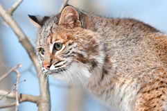 Bobcat (Lynx rufus) in Tree - Head. Captive animal Stock Photos