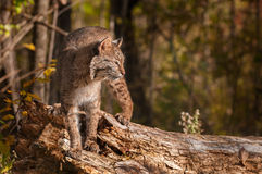 Bobcat (Lynx rufus) Turned Right Stock Photography