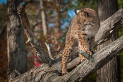 Bobcat Lynx rufus Turns Left Atop Branch. Captive animal Royalty Free Stock Photography